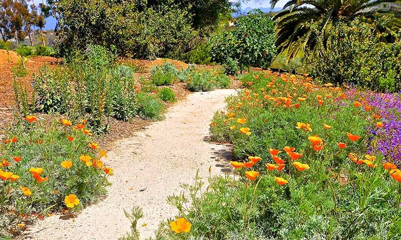 poppies in the California Native Garden
