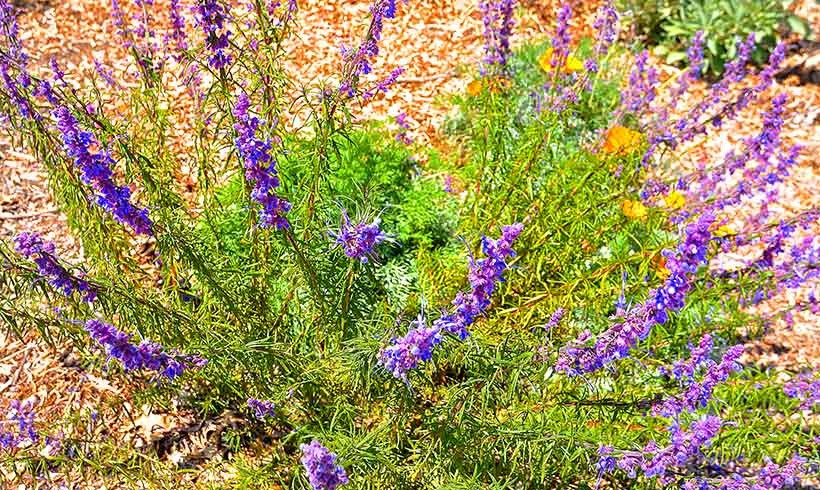 Can be viewed in the upper bed of our California Native Garden.   This bed receives no irrigation.   This plant is very easily killed by overwatering.